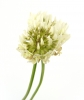 Flower, White clover, Nature - Please click to download the original image file.