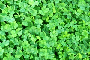 Shamrock, Clover, Texture - High quality royalty free images resources for commercial and personal uses. No payment, No sign up.